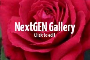 Duftende Rosen als Kübelpflanzen für die Terrasse – Empfehlungen?