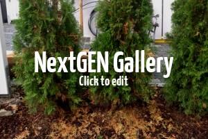 Lebensbäume / Thuja werden nach Einpflanzen braun und verlieren Nadeln – was kann man unternehmen?
