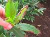 Kirschlorbeer / Prunus - Braune Blätter