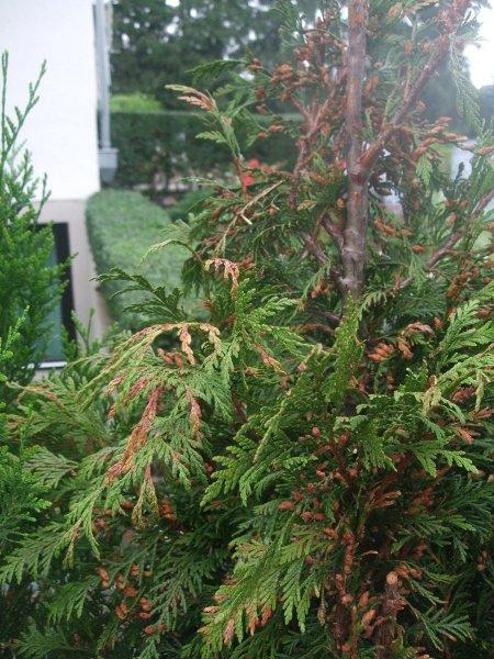 Tuja pflanze thuja occidentalis smaragd emerald green for Pflanzen evergreen