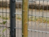 Sorgenkind Streifenahorn