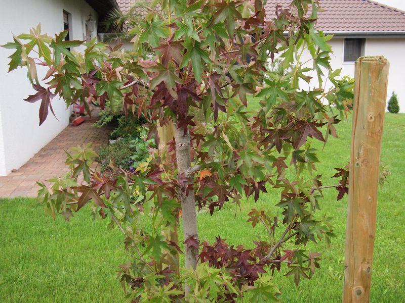 bl tter am amberbaum verf rben sich m gliche ursachen fragen bilder pflanz und. Black Bedroom Furniture Sets. Home Design Ideas
