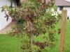 Rotfärbung Blätter Amberbaum