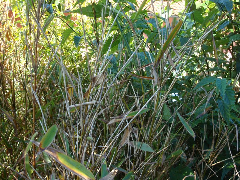 bambus wird braun auch neuaustriebe wo liegt das problem fragen bilder pflanz und. Black Bedroom Furniture Sets. Home Design Ideas