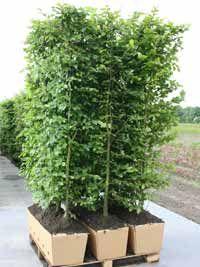 Pflanzenspecial heckenelemente exklusivit t und for Gartenabgrenzungen mit pflanzen