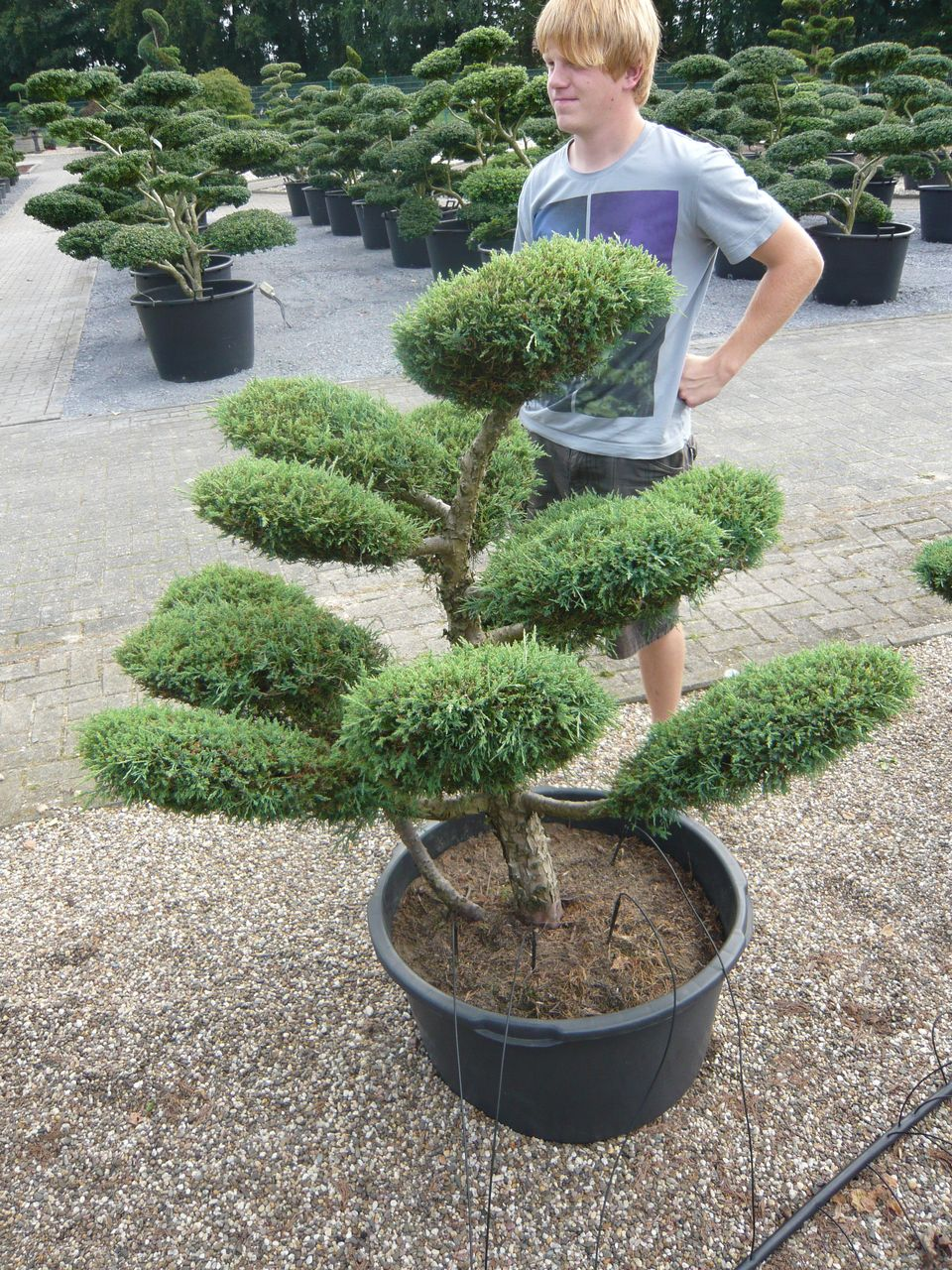Pflanzenspecial gartenbonsai kostbarkeiten japans for Garten planen mit bonsai anzuchterde