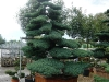 garten-bonsai-0012
