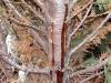 Thuja / Lebensbaum mit Erkrankung und Harz