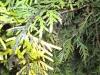 Pilzerkrankung an Thuja / Lebensbaum Pflanzen