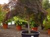 Acer palmatum Garnet (Dunkelroter Schlitzahorn)