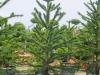 Araucaria araucana - Chilenische Schmucktanne (Auraukarie)
