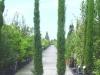 Cupressus sempervirens Stricta - Säulenzypresse