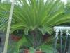 Cycas revoluta - Palmfarn aus Japan