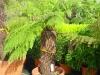 Dicksonia antartica / Baumfarn - Exklusiver Farn aus Australien