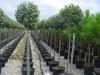 Elaeagnus ebbingei / Wintergrüne Ölweide als Hochstamm