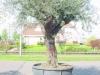 Olea europaea / Olive als Halbstamm
