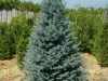 Picea pungens \'Hoopsii\' / Blau-Fichte \'Hoopsii\' / Silber-Fichte