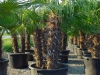 Trachycarpus fortunei / Hanfpalme mehrstämmig