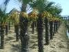 Trachycarpus fortunei / Hanfpalme
