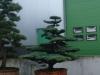 Outdoor- oder Gartenbonsai
