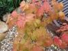 Goldahorn / Acer platanoides \'Princeton Gold\'