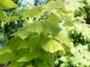 Blätter vom Trompetenbaum mit Verticillium / Welkepilz