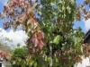 Ahorn Acer Rubrum Sunset