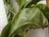 Prunus / Kirschlobeer mit falchem Mehltau