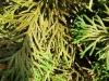 Thuja / Lebensbaum mit Magnesiummangel