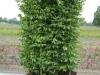 Fertighecke Hainbuche Carpinus Betulus Einzelelement