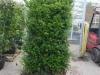 Heckenelement Eibe Taxus Baccata kurz vor Versand