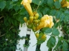 Campsis radicans flava / Gelbe Klettertrompete