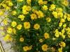 Coreopsis grandiflora / Maedchenauge