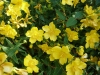 Hypericum calycinum / Niedriges Johanniskraut