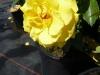Rose / Beetrose friesia