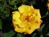 Rose / Beetrose Goldmarie