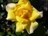 Rose / Edeldrose Gold Glow