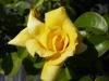 Rose / Edelrose Landora