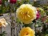 und noch einen schöne gelbe Rose