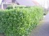 04_Kirschlorbeer_Prunus_Rotundifolia