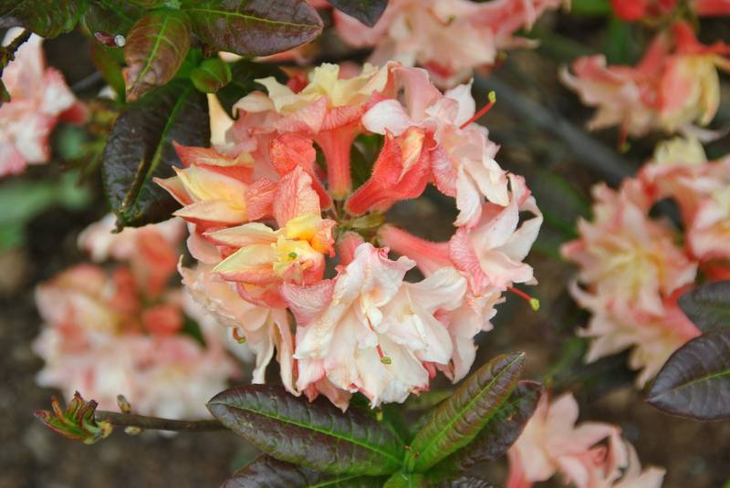 05_rhododendron-cannons-double