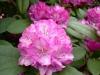 01_rhododendron-bluerettia