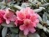 03_rhododendron-brasilia