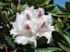 12_rhododendron-rasteder-schlossperle