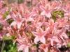 14_rhododendron-soir-de-paris