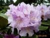 17_rhododendron-susan