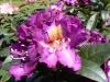 18_rhododendron-tamarindos