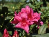 04_-inkahro-rhododendron-dr-h-c-dresselhuys