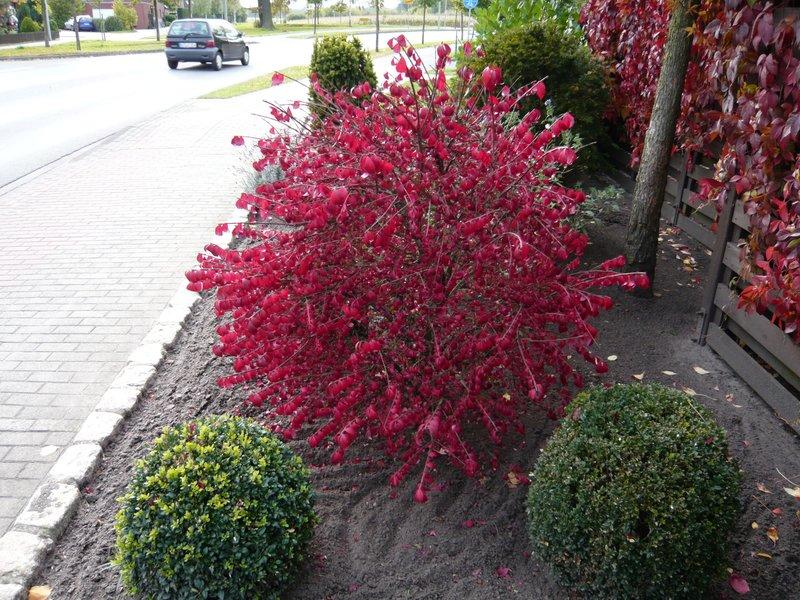 gartenpflanzen mit toller herbstf rbung in leuchtendem rot fragen bilder pflanz und. Black Bedroom Furniture Sets. Home Design Ideas
