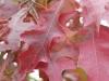 05_herbstblueher_quercus-palustris-green-dwarf-kugelsumpfeiche-nadel-eiche-jpg